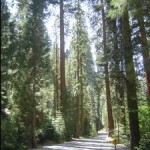 sequoia_road