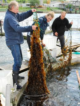 Des moules et des algues pour nettoyer la Baltique ?