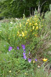 fleurs vallée de Chaudefour