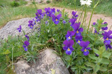 violettes vallée de Chaudefour