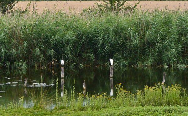 Marais de Lambre hérons